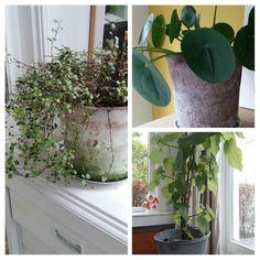 Groen in huis! Kamerlinde en pannekoekplantje.