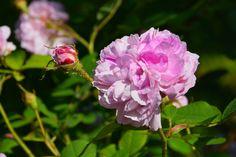 Bush maiden – ruusu | Vesan viherpiperryskuvat – puutarha kukkii