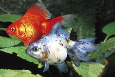 AquaBid.com - Item # fwgoldfish1442524348 - Assorted Ryukin Goldfish - Regular 2 - 2.5 inches - Ends: Thu Sep 17 2015 - 04:12:28 PM CDT