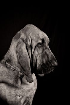 Bloodhound! This is such an elegant picture