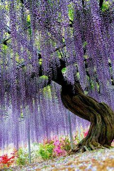 Ashikaga Flower Park, featuring here a Japanese wisteria. Ashikaga, Tochigi, Japan by v. Beautiful Gardens, Beautiful Flowers, Beautiful Places, Beautiful Pictures, Amazing Places, Beautiful Gorgeous, Inspiring Pictures, Amazing Photos, Beautiful Scenery