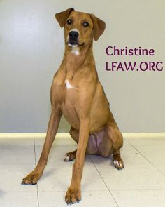 Dobie mix Christine is such a sweet dog with a wonderful disposition, Christine would make a great family dog. She is tall, lean but certainly not mean! Focused on her surroundings, she loves to play ball and romp in the play yards. Christine will sit for treats and learns quickly; she needs a family to give her the love she deserves.
