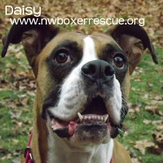 Daisy is a gorgeous fawn girl being fostered in Seattle WA. Find out more about her on our website - www.nwboxerrescue.org or our Facebook page - www.facebook.com/northwestboxerrescue