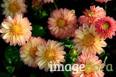 """Brookfield Sweetie"" is a cute a button Dwarf  Dahlia. Plant tubers in loamy soil, in full sun."