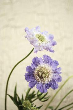 scabiosa purple bouquet by mellow_stuff, via Flickr