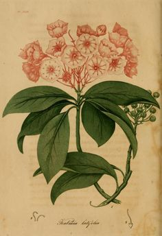 Kalmia latifolia (Mountain Laurel). Plate from American Medical Botany (1817) by Jacob Bigelow.                                  Published by Cummings and Hilliard (heaveninawildflower)