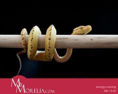 MyMorelia snakes breeder. Green tree python (morelia viridis)