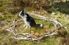 Roscoe the Border collie at RSPB sea eagle watch, Hoy, Orkney - the branches indicate the size of the eagles' nest. May 2016. Photo by Graham Brown.