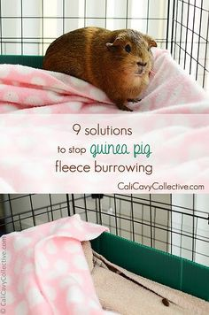 How to discourage your guinea pig from going under their fleece bedding or digging it up.