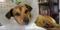 Rainlake is only about a year old and has had the most terrible start in life. Growing up on the streets of Thailand, he was attacked by another dog, leaving him with a severely infected wound. Thanks to people like you, our vets were able to help him.  https://www.facebook.com/SoiDogPageInEnglish/videos/1128698307171903/