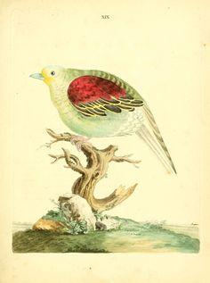 Le Pigeon Pompadour