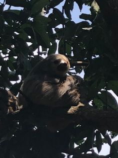 Volunteer in Costa Rica: Sloth/Mammal Conservation Amphibians, Reptiles, Mammals, Costa Rica Sloth, Turtle Conservation, Volunteer Abroad, Sea Turtles, Brown Bear, Pet Care