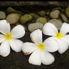 The sweet aroma of frangipani's in the morning