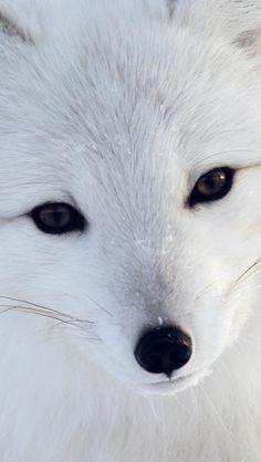 Artic Fox White Animal Cute #iPhone #5s #wallpaper