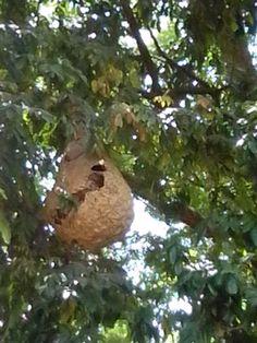 nest of baya bird