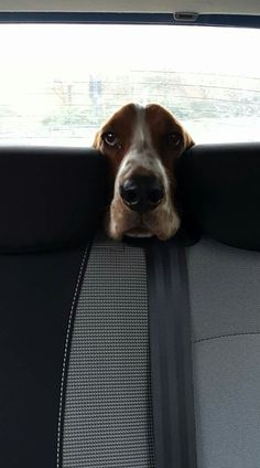Basset Pete. How adorable. Mine does this ALL the time too!