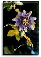 passion flowers are lovely and fragrant..they grow on a vine and attract butterflies..I have a backyard full of them..(passionflower.org)