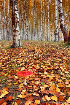 Autumn forest in Kostroma, Russia (by Yury Prokopenko on Flickr).... Similar to my home country