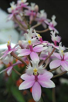 Epidendrum radicans - Orchid Show, Fairchild Tropical Garden, MIami, FL-  Flickr - Photo Sharing!