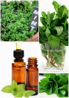 The Top 10 Best Uses For Peppermint Essential Oil Peppermint essential oil tackles many different ailments. It's one of the most versatile essential oils on the planet. Even though I've only listed my top ten list here, there are many, many more uses for Holistic Remedies, Natural Home Remedies, Herbal Remedies, Health Remedies, Essential Oil Uses, Doterra Essential Oils, Healing Herbs, Natural Healing, Au Natural