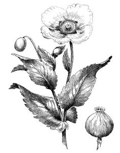 Vintage Clip Art - Poppy Engraving - The Graphics Fairy