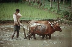 Cattleman in 3Bangladesh