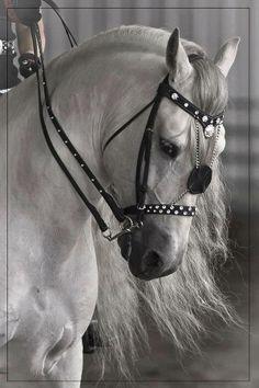 head shot of a dazzling Arabian in dress headstall