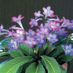 Cape Primrose 'Party Doll'