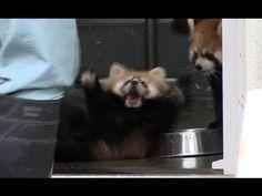 Red Panda Baby surprise !
