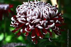 "Shot in the ""Show House"" ... in Lincoln Park Conservatoy ...  Nov, 2007    Lilli Gallon Mum ... Chrysanthemum L. ""Lilli Gallon""  Form: Irregular Incurve"
