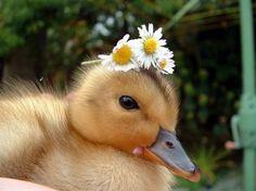 duckling wearing a flower crown