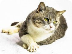 2/3/17 URGENT!! Oxford, MS - Domestic Shorthair. Meet Hagrid, a cat for adoption. Hi, my name is Hagrid and I am 1 year old.  I am a darling little guy who would love to find a wonderful and forever family!  Are you searching for a great friend to add to your life?  Well, adopt me and let's make sweet memories together! http://www.adoptapet.com/pet/17497430-oxford-mississippi-cat