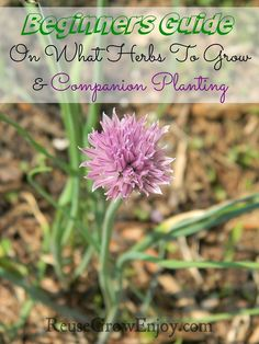 Beginners Guide On What Herbs To Grow And Companion Planting. Great way to get your herb garden started right.