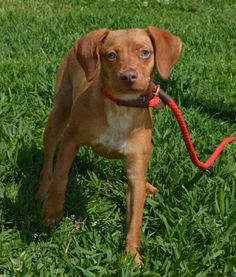 Tanner was surrendered to the shelter due to apartment restrictions. She is an adorable 5 month old #Vizsla mix pup who is very sweet and great on a leash. We were told she is good with children and good with other #dogs. http://www.doggielife.com/tanner/dogs/JEUPV8
