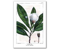 Loblolly Bay Blossom vintage illustration by DejaVuPrintStore, $8.90