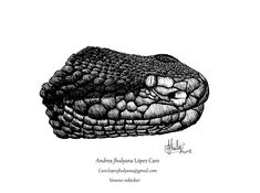 Andrea Jhulyana Lopez-Caro added 76 photos and a video to the album: Ilustraciones. Reptiles, Rodents, Birds, Vertebrates, Snakes, Nocturne, Authors, Colombia