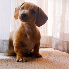 Dapple Dachshund, Long Haired Dachshund, Dachshund Puppies, Cute Puppies, Cute Dogs, Dogs And Puppies, Dachshunds, Yorkie Dogs, Weenie Dogs
