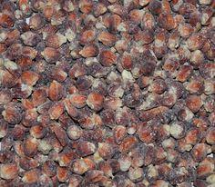 Floriani Red Flint Corn Seeds + FREE Bonus 6 Variety Seed Pack - a $30 Value!