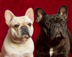 Daystar French bulldogs   Dog owned by Daystar French Bulldogs