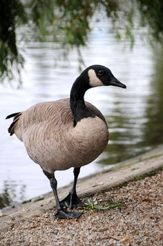 Canadian goose in St