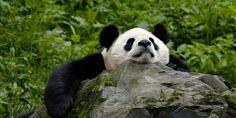 Die Heimat der Pandas, die Bergwälder Chinas und Burmas, wurde größtenteils abgeholzt und in Felder umgewandelt. Nur noch etwa 1.600 Tiere leben in kleinen Waldinseln. Helfe dem WWF bei seinem Schutzprogramm: bit.ly/AlVplQ © Bernard deWetter / WWF