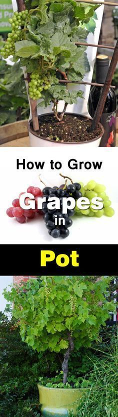 Growing Grapes in Containers is part of Garden - You don't need a big vineyard to grow grapes, you can do this even on your balcony in a pot Growing grapes in containers is not very complicated though it requires slight care and maintenance Check out! Fruit Garden, Edible Garden, Garden Plants, Balcony Garden, Balcony Plants, Garden Web, Succulent Plants, Balcony Flowers, Garden Kids