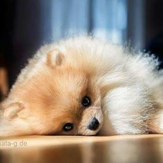 Pommie sleeping in the sunshine