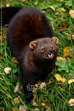 Fisher (Martes pennanti) by *Eltasia on deviantART. Do not approach, feed, or pet. Animals Of The World, Animals And Pets, Cute Animals, Fisher Cat Pictures, Most Beautiful Animals, Colorful Animals, Forest Cat, Animal 2, All Gods Creatures