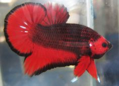 Awesome Betta! Dragonscale