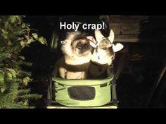 Halloween Horror #pug #frenchbulldog #halloween #horror