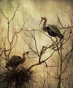 Nesting Blue Herons