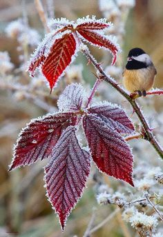 Frost touching the leaves and flowers bedazzles them in diamonds for a little while and they go out in a blaze of glory