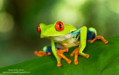The one and only red eyed tree frog