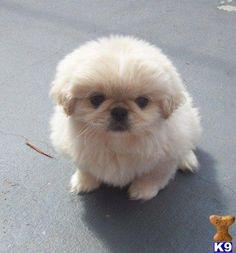 #Pekingese pup